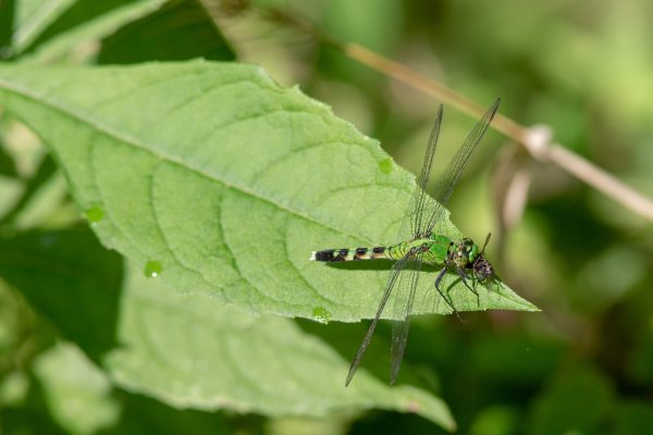 Dragonfly lunches on insect.