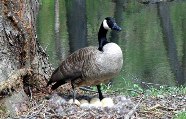Canada goose guarding nest