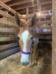 Julie the mule